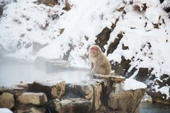 Japanese macaque or snow monkey in hot spring stock photography