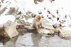 Japanese macaque or snow monkey in hot spring stock images