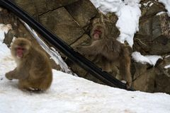 Japanese macaque or snow monkey, Macaca fuscata. Climbing cable to top of mountain, looking towards camera. Joshinetsu-Kogen National Park, Nagano, Japan Stock Photography