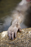 Japanese macaque or snow monkey, Macaca fuscata. Hand and fingers Royalty Free Stock Photography
