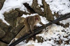 Japanese macaque or snow monkey, Macaca fuscata. Climbing cable to top of mountain, looking straight at camera. Joshinetsu-Kogen National Park, Nagano, Japan Royalty Free Stock Photography