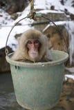 Japanese macaque or snow monkey, Macaca fuscata. Jigokudani Yaen Koen or Jigokudani Monkey Park, Japan, winter Stock Photography