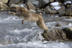 Japanese macaque or snow monkey, Macaca fuscata Stock Image