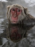Japanese macaque or snow monkey, Macaca fuscata Stock Photo