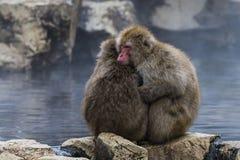 Japanese macaque or snow monkey, Macaca fuscata, sitting on rock of hot spring, holding each other to keep warm. Joshinetsu-Koge. N National Park, Nagano, Japan Royalty Free Stock Image