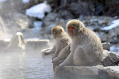 Japanese macaque mother and child Stock Images