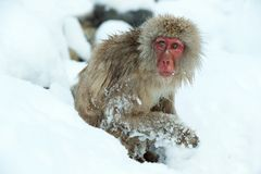 Japanese macaque on the snow. royalty free stock photography