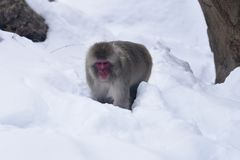 Japanese Macaque in Snow. This is a Winter picture of a Japanese Macaque also known as a Snow Monkey playing in the snow at the zlincoln spark Zoo located in Royalty Free Stock Photo