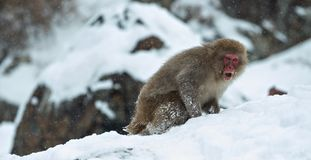 Japanese macaque on the snow. stock photo