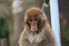 A Japanese macaque at Takasaki monkey park, Beppu, Oita, Japan. Japanese、 monkey、A Japanese macaque at Takasaki monkey park, Beppu, Oita, Japan Royalty Free Stock Photos