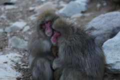Japanese macaque. The Japanese macaque is a terrestrial Old World monkey species native to Japan. They are also sometimes known as the snow monkey because they Stock Photos