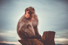 Japanese macaque on a trunk, Iwatayama monkey park, Kyoto, Japan Royalty Free Stock Photography
