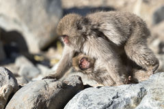 Japanese macaque walking Stock Photo
