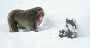 The Japanese macaque walking on the snow. Scientific name: Macaca fuscata, also known as the snow monkey. Winter season. Natural royalty free stock images