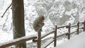 Japanese Macaque by winter Royalty Free Stock Photos