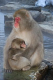 Japanese Macaque with young. Japanase macaque with young Stock Photos