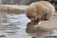 Japanese Macaque. Young Japanese Macaque drinking from hot spring Stock Photos
