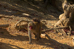 Japanese macaques Stock Photography