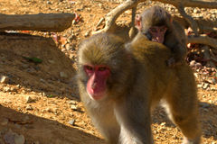 Japanese macaques Stock Photos