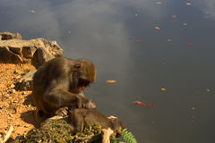 Japanese macaques Royalty Free Stock Photo