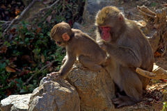 Japanese macaques Stock Images