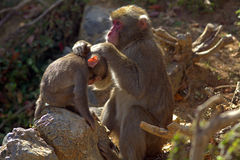 Japanese macaques Royalty Free Stock Photography