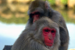 Japanese macaques Stock Photo