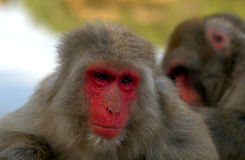Japanese macaques Royalty Free Stock Images