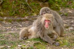 Japanese macaques grooming. Each other at Iwatayama Monkey Park of Arashiyama town in Kyoto prefecture, Japan. Macaca fuscata monkeys cleaning and removing bugs Stock Image