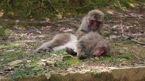 Japanese macaques grooming. Each other at Iwatayama Monkey Park of Arashiyama town in Kyoto prefecture, Japan. Macaca fuscata monkeys cleaning and removing bugs stock video footage