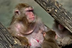 Japanese macaques Lat. Macaca fuscata. This is the most northern species of primates, and the island of Yakushima. With a rather harsh climate, is their royalty free stock image
