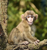 Japanese macaques, monkey. Monkey with baby, the wild monkeys (macaques) in nature, in the forest, Japanese macaques at the Monkey Mountain Austria. The animals Royalty Free Stock Image