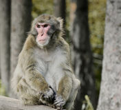 Japanese macaques, monkey. Monkey sitting on a tree and observed, the wild monkeys (macaques) in nature, in the forest, Japanese macaques at the Monkey Mountain Royalty Free Stock Photos