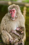 Japanese macaques, monkey with baby. Monkey with baby, the wild monkeys (macaques) in nature, in the forest, Japanese macaques at the Monkey Mountain Austria stock image