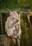 Japanese macaques, monkey with baby. Monkey with baby when feeding with apple. The wild monkeys (macaques) in nature, in the forest, Japanese macaques at the Stock Images