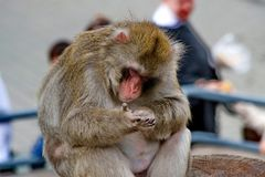 Japanese macaques. This is the most northern species of primates, and the island of Yakushima, with a rather harsh climate. Japanese macaques Lat. Macaca fuscata stock images
