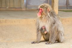 Japanese macaques mother cuddling royalty free stock images
