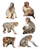 Japanese macaques  over white Stock Images
