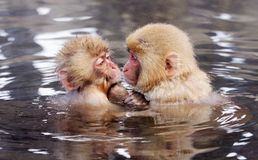 Japanese Macaques royalty free stock photos