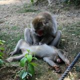 Japanese Macaques in Their Natural Habitat in a Mountain in Japan. Japanese macaques in a portrait photo. These beautiful monkeys were photographed in a monkey royalty free stock image
