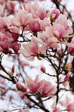 Japanese Magnolia Royalty Free Stock Photos