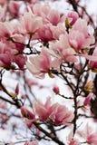 Japanese Magnolia Royalty Free Stock Photos