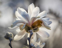 Japanese Magnolia Backlit By The Morning Sun. Beautiful white Japanese Magnolia blossom backlit by the morning sun Royalty Free Stock Photos