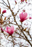 Japanese Magnolia Blooms Against Sky Stock Photos