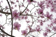 Japanese Magnolia Blooms and Limbs. Took this shot looking straight up through the branches of a Japanese magnolia tree Royalty Free Stock Image