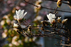 Japanese Magnolia Flower blossom Stock Images