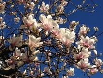 Japanese magnolia blossoms beneath blue sky. Pale pink Japanese magnolia blossoms beneath a cloudless blue sky Stock Photos