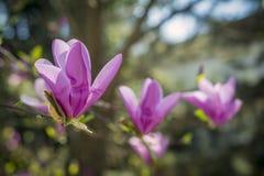 Japanese Magnolia flowers Stock Photography