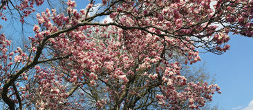 Japanese  Magnolia  (Magnolia soulangeana)  Panoramic in Spring Royalty Free Stock Images