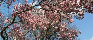 Japanese  Magnolia  (Magnolia soulangeana)  Panoramic in Spring. Beautiful April  flowering tree panorama Royalty Free Stock Images